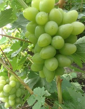 талисман виноград видео