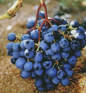 виноград талисман опылители