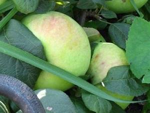 Сорт яблони багряное фото и описание сорта